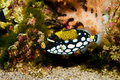 Clown Trigger Fish Stock Images