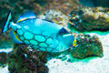 Clown Triggerfish - Balistoides conspicillum Royalty Free Stock Photo