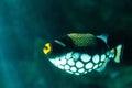 Clown triggerfish Balistoides conspicillum Royalty Free Stock Photo