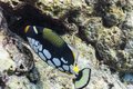 Clown triggerfish at Similan island Royalty Free Stock Photo