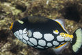 Clown triggerfish at Surin national park Royalty Free Stock Photo