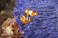 Clownfish Stock Photography