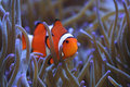 Clownfish Amphiprion percula in host sea anemone Royalty Free Stock Photo