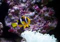Clownfish and anemone Royalty Free Stock Image