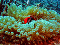 Clownfish & Anemone Coral Royalty Free Stock Photo