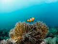 Clownfish and anemones Royalty Free Stock Photo