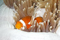 Clownfish a clown anemonefish amphiprion percula sheltering among the tenacles of its anemone home Stock Photo