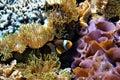 Clownfish hiding between anemones Royalty Free Stock Photo