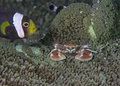 Clownfish protects porcelain crab incubating eggs cilownfish watches over fellow anemone resident carrying Stock Images