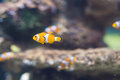 Clownfish in Saltwater Coral Reef Aquarium Royalty Free Stock Photo