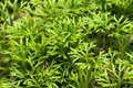 Club moss Royalty Free Stock Photo