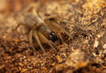 Clubiona small hairy spider ruthless predator Stock Image