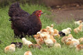 Clucking hen and chicks Royalty Free Stock Photo