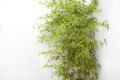 The clump of bamboo by white wall Stock Photography