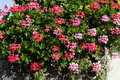 Clump of geranium Royalty Free Stock Photos