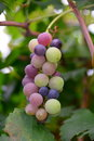 A clump of grapes hanging on a vine small hang from the in anticipation in becoming fine wine Stock Image
