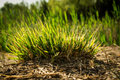 A clump of grass Royalty Free Stock Photo