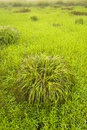 Clump of grass in field. Royalty Free Stock Photo