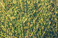 Clump of high grass natural background Royalty Free Stock Images