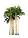 Clump of palm trees isolated on white background Royalty Free Stock Photography