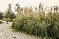 Clump of reed by planked footpath in spring Royalty Free Stock Photo