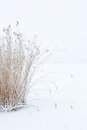 Clump of reeds Royalty Free Stock Photo