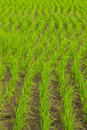 Clump of rice in chomthong chiangmai thailand Stock Image