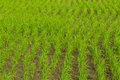 Clump of rice in chomthong chiangmai thailand Royalty Free Stock Photos