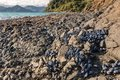 Clumps of blue mussels on rocky beach in New Zealand