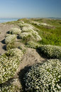 Clumps of  chamomile flowers around the beach Royalty Free Stock Photos