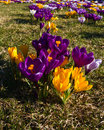 Clumps of crocuses Royalty Free Stock Images