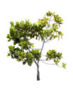 Clusia major l jack guttiferae tree isolated on white Royalty Free Stock Images