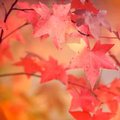 Cluster of autumn leaves colorful Royalty Free Stock Photography