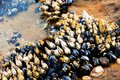 Cluster of claw like barnacles and muscles attached to rocks at the tide pool. Royalty Free Stock Photo