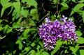 Cluster of blooming purple lilac blossoms Royalty Free Stock Photo