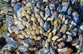 Cluster of blue mussel (Mytilus edulis) and whitie colored gooseneck barnacles (Lepus sp.) Royalty Free Stock Photo