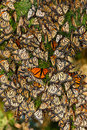 Cluster of Butterflies Royalty Free Stock Photo
