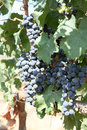 Cluster of dark blue grapes Stock Photos