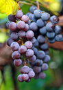 Cluster of a dark blue grapes on branch Royalty Free Stock Photography