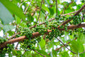 Cluster fig tree and fruit Royalty Free Stock Image