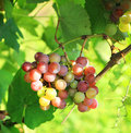 Cluster of fresh ripe red grape with leaves Royalty Free Stock Photo