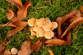 Cluster of fungus among leaves Stock Image