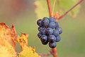 Cluster of grapes an image from a viticulture Royalty Free Stock Photography