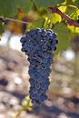 Cluster of grapes on vine Stock Image