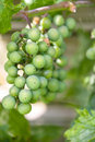 Cluster of Green Grapes Royalty Free Stock Photos