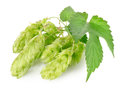 Cluster of hops Royalty Free Stock Photo