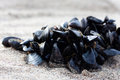 Cluster of Mussels Royalty Free Stock Photo