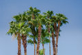 Cluster Of Palm Trees