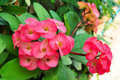 Cluster of pink crown of thorns closeup a flowers Stock Photography