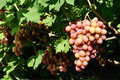 Cluster of pink grape on vine Royalty Free Stock Photo